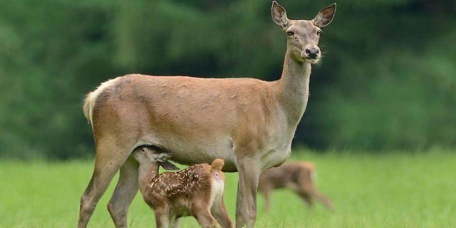 Betrachten Sie Rehe aus unmittelbarer Nähe im Wildpark Poing